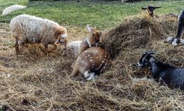 Spotted deer goats goatling sheep on the farm lie in the hayloft