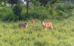 Spotted deer in grassland Stock Photo