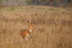 Spotted deer stag in India royalty free stock images