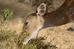 Spotted deer grazing Stock Photo