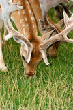 Spotted deer grazing Royalty Free Stock Image