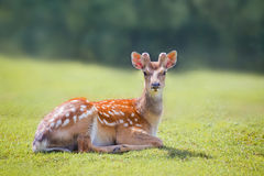 The spotted deer. Grazing on green grass Stock Photography