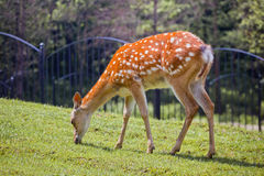 The spotted deer Royalty Free Stock Images