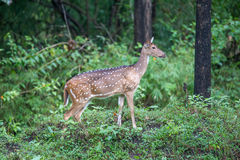 Spotted deer in greenary. Canon 6D f4 1/2500 ISO 500 400mm Royalty Free Stock Photos