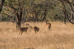 Spotted Deer. A heard of spotted deer at a natural habitat of Ranthambore Forest Royalty Free Stock Images