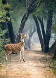 Spotted deer. Herbivore beautiful background. Female Royalty Free Stock Photography