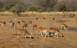 Spotted deer herd. Spotted deer (Axis axis) herd, Ranthambore National Park, Rajasthan, India Royalty Free Stock Image