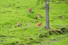 Spotted deer herd Royalty Free Stock Photo
