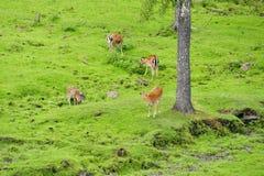 Spotted deer herd Royalty Free Stock Photo