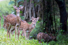 Spotted deer herd Stock Images
