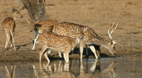 Spotted deer herd drinking Stock Images
