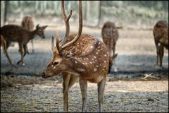 SPOTTED DEER WITH THE HERD stock images
