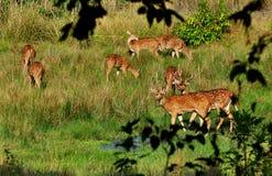 Spotted Deer herd. Grazing herd of spotted deer in the wild Stock Photography
