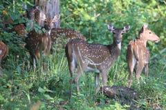 Spotted deer herd in habitat Royalty Free Stock Photos