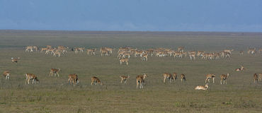 Spotted deer herd Royalty Free Stock Photography