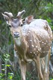 Spotted Deer on High alert Stock Photos