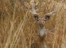 Spotted deer,  India. Spotted deer standing in the  brown grass. beautiful artistic brown horn and white spotted providing beauty to the animal Stock Photos