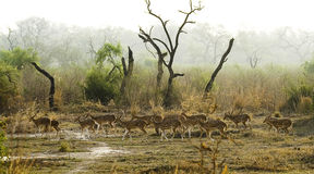 Spotted Deer in Indian Jungle Royalty Free Stock Images