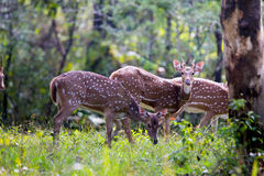 Spotted deer juvenile Stock Photo