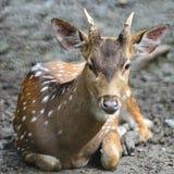 Spotted deer. Juvenile male Spotted deer or Axis deer (Cervus axis Stock Image
