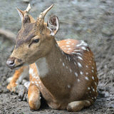 Spotted deer. Juvenile male Spotted deer or Axis deer (Cervus axis Royalty Free Stock Images