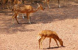 A Spotted Deer - Kid and Parent. This is a photograph of a kid and a parent of a spotted deer, also known as chital, cheetal, or axis axis, captured at the zoo Stock Photo