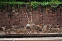 Spotted deer in Korat's zoo Stock Photos