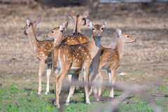 Spotted deer looking in all direction Stock Images