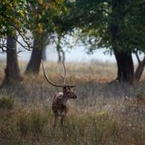 Spotted Deer(Male). Male Axis or Spotted Deer (Axis axis) INDIA Kanha National Park Stock Photography