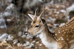 Spotted deer Axis axis in the forest. Spotted deer, male Axis axis in the natural habitat Macedonia, northwest Greece Royalty Free Stock Photography