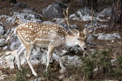 Spotted deer Axis axis in the forest. Spotted deer, male Axis axis in the natural habitat Macedonia, northwest Greece Stock Image
