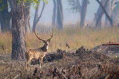 Spotted deer male in Bardia, Nepal Royalty Free Stock Photography