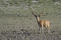 Spotted deer male in Bardia, Nepal Royalty Free Stock Photo