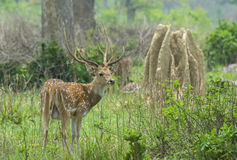 Spotted deer Male. Chital Male: The portrai of Male spotted deer Stock Photos