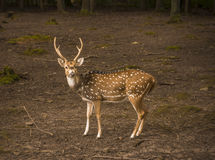 Spotted deer male profile image. Profile image with a lovely axis deer buck looking to the camera. Picture taken in Pforzheim, Baden Wuerttemberg, Germany Royalty Free Stock Images
