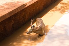 Spotted deer-male stands in a canal with clay muddy water in Don Royalty Free Stock Photos