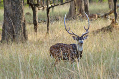 Spotted Deer. Male spotted deer in the wild Stock Photo