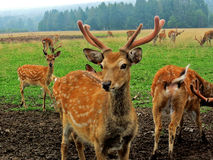 Spotted deer. In the meadow royalty free stock images