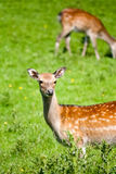Spotted Deer in Meadow. A family of spotted deer in a green meadow on a sunny day Royalty Free Stock Image