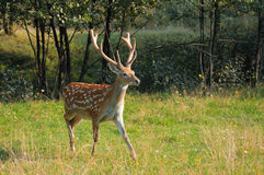 Spotted deer. Stock Photo