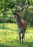 Spotted deer. Royalty Free Stock Images
