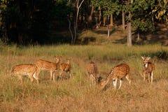 Spotted deer in natural habitat Stock Images