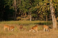 Spotted deer in natural habitat Stock Photos