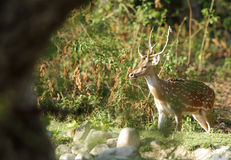 Spotted deer near a water hole Royalty Free Stock Images