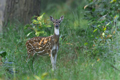 Spotted deer in Nepal Stock Image