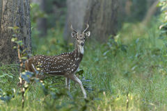 Spotted deer in Nepal Royalty Free Stock Photo