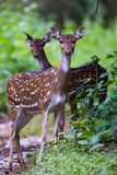 Spotted deer pair. Spotted deer pair standing in a forestn Royalty Free Stock Photos