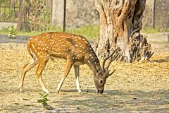 Spotted deer. Pasturing male spotted deer (Cervus nippon Stock Photos