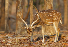 Spotted deer in Pench National Park Royalty Free Stock Photography