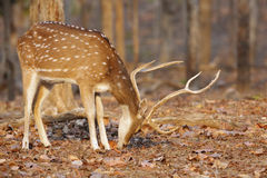 Spotted deer  in pench tiger reserve Royalty Free Stock Photography